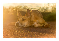 Daydreaming Dingo