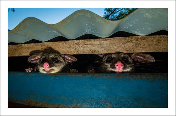Possums in the roof 5