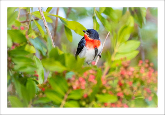 Mistletoebird and Japanese Pepper.